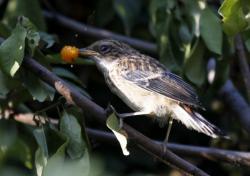 Tarabilla coliblanca M_saxi11