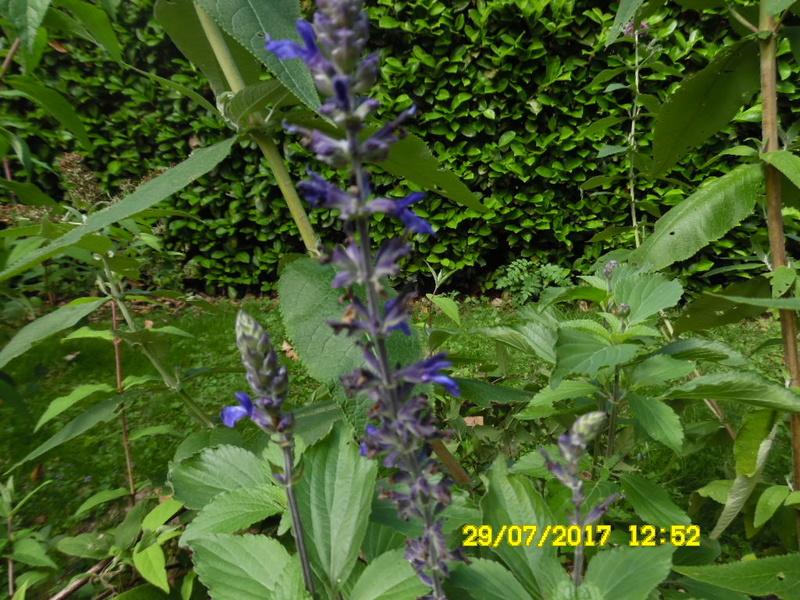 Salvia cv. ? [identification non terminée] Sam_1156