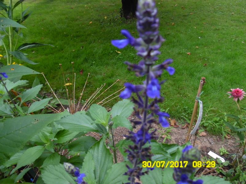 Salvia cv. ? [identification non terminée] Sam_1157
