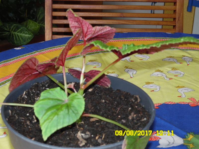 Begonia grandis ssp. evansiana - [identification] Sam_1182