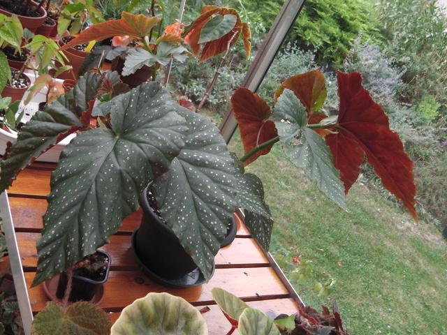 bégonia lucernae Imga0110