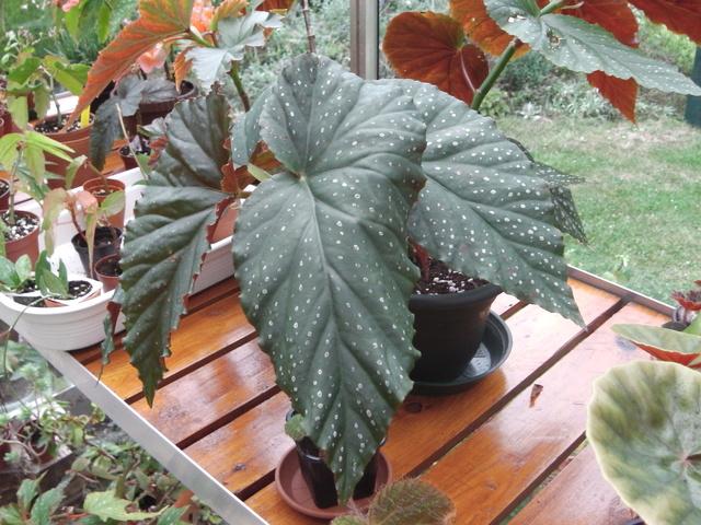 bégonia lucernae Imga0111