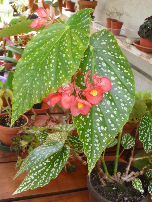begonia dichroa P1050010