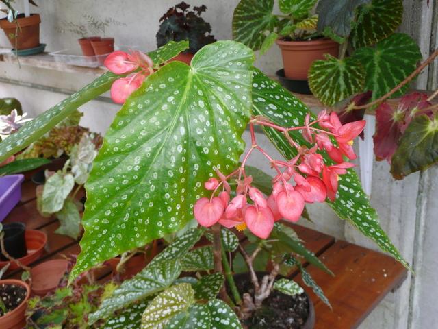 begonia dichroa P1050011