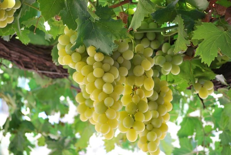 TOÀN BỘ KỸ THUẬT TRỒNG NHO: HÌNH ẢNH CÂY NHO, CÁC GIỐNG NHO HAY TRỒNG TẠI VIỆT NAM, TỈA CÀNH CÂY NHO QUA TỪNG VỤ. CHI TIẾT QUA HÌNH ẢNH - The illustration shows part of the grape plants 26879810