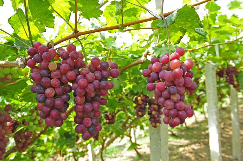 TOÀN BỘ KỸ THUẬT TRỒNG NHO: HÌNH ẢNH CÂY NHO, CÁC GIỐNG NHO HAY TRỒNG TẠI VIỆT NAM, TỈA CÀNH CÂY NHO QUA TỪNG VỤ. CHI TIẾT QUA HÌNH ẢNH - The illustration shows part of the grape plants 48473310