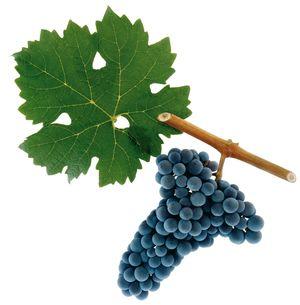 TOÀN BỘ KỸ THUẬT TRỒNG NHO: HÌNH ẢNH CÂY NHO, CÁC GIỐNG NHO HAY TRỒNG TẠI VIỆT NAM, TỈA CÀNH CÂY NHO QUA TỪNG VỤ. CHI TIẾT QUA HÌNH ẢNH - The illustration shows part of the grape plants C_07cc10