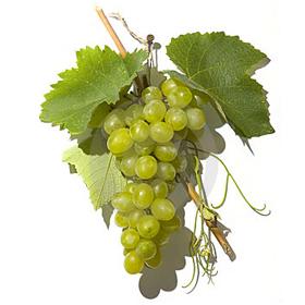 TOÀN BỘ KỸ THUẬT TRỒNG NHO: HÌNH ẢNH CÂY NHO, CÁC GIỐNG NHO HAY TRỒNG TẠI VIỆT NAM, TỈA CÀNH CÂY NHO QUA TỪNG VỤ. CHI TIẾT QUA HÌNH ẢNH - The illustration shows part of the grape plants Grape_10