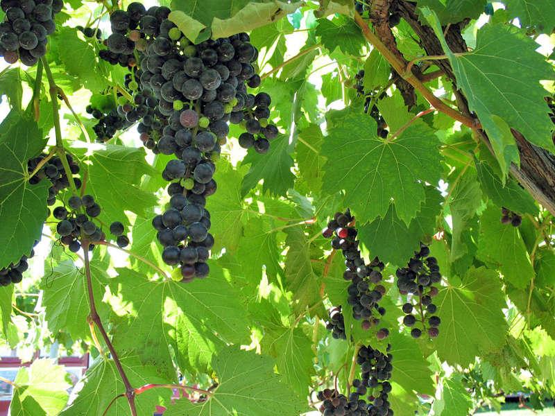 TOÀN BỘ KỸ THUẬT TRỒNG NHO: HÌNH ẢNH CÂY NHO, CÁC GIỐNG NHO HAY TRỒNG TẠI VIỆT NAM, TỈA CÀNH CÂY NHO QUA TỪNG VỤ. CHI TIẾT QUA HÌNH ẢNH - The illustration shows part of the grape plants Grapes10