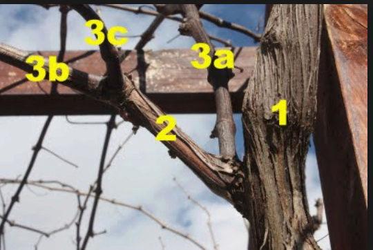 TOÀN BỘ KỸ THUẬT TRỒNG NHO: HÌNH ẢNH CÂY NHO, CÁC GIỐNG NHO HAY TRỒNG TẠI VIỆT NAM, TỈA CÀNH CÂY NHO QUA TỪNG VỤ. CHI TIẾT QUA HÌNH ẢNH - The illustration shows part of the grape plants Nho_1110
