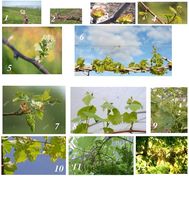 TOÀN BỘ KỸ THUẬT TRỒNG NHO: HÌNH ẢNH CÂY NHO, CÁC GIỐNG NHO HAY TRỒNG TẠI VIỆT NAM, TỈA CÀNH CÂY NHO QUA TỪNG VỤ. CHI TIẾT QUA HÌNH ẢNH - The illustration shows part of the grape plants Qua_tr10