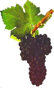 TOÀN BỘ KỸ THUẬT TRỒNG NHO: HÌNH ẢNH CÂY NHO, CÁC GIỐNG NHO HAY TRỒNG TẠI VIỆT NAM, TỈA CÀNH CÂY NHO QUA TỪNG VỤ. CHI TIẾT QUA HÌNH ẢNH - The illustration shows part of the grape plants S10