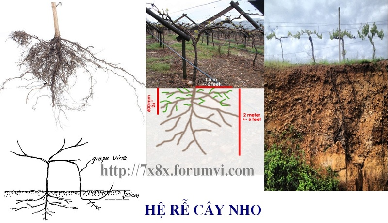 TOÀN BỘ KỸ THUẬT TRỒNG NHO: HÌNH ẢNH CÂY NHO, CÁC GIỐNG NHO HAY TRỒNG TẠI VIỆT NAM, TỈA CÀNH CÂY NHO QUA TỪNG VỤ. CHI TIẾT QUA HÌNH ẢNH - The illustration shows part of the grape plants Untitl13