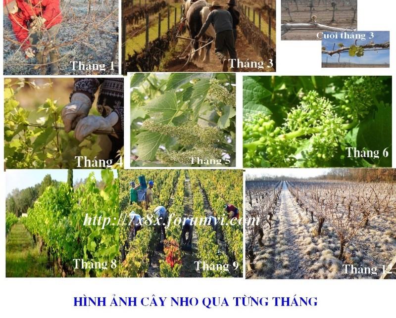 TOÀN BỘ KỸ THUẬT TRỒNG NHO: HÌNH ẢNH CÂY NHO, CÁC GIỐNG NHO HAY TRỒNG TẠI VIỆT NAM, TỈA CÀNH CÂY NHO QUA TỪNG VỤ. CHI TIẾT QUA HÌNH ẢNH - The illustration shows part of the grape plants Untitl14