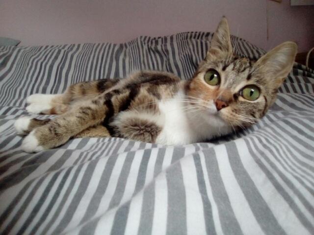 MOLKIE chatte européenne tigrée tricolore née le 30/08/216 Cid_im32