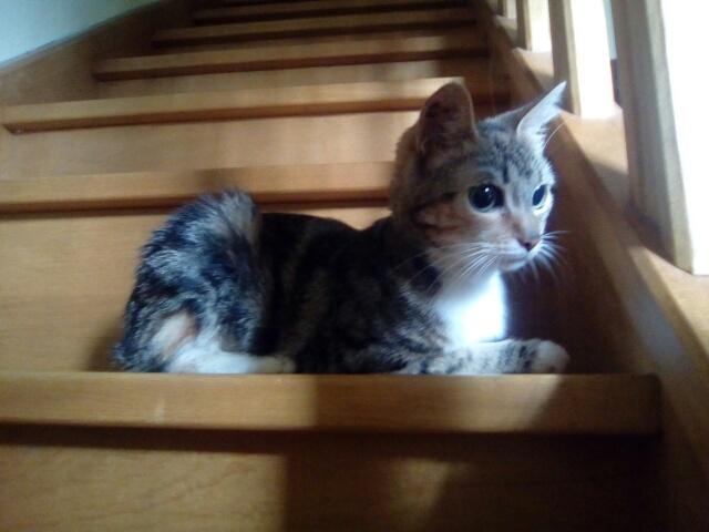 MOLKIE chatte européenne tigrée tricolore née le 30/08/216 Cid_im34