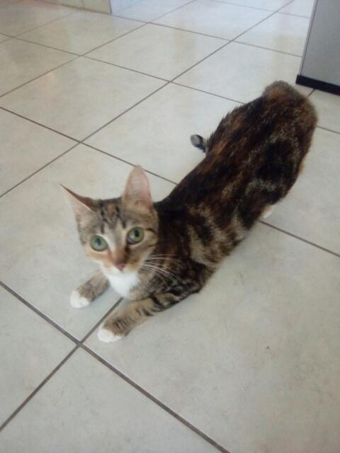 MOLKIE chatte européenne tigrée tricolore née le 30/08/216 Cid_im37