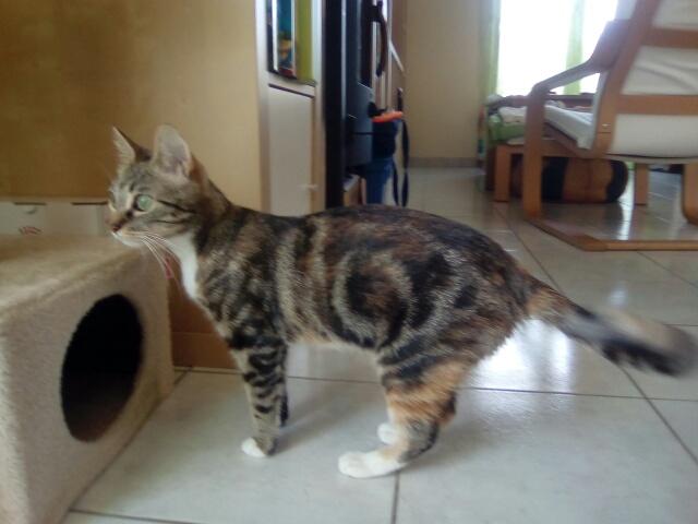 MOLKIE chatte européenne tigrée tricolore née le 30/08/216 Cid_im39