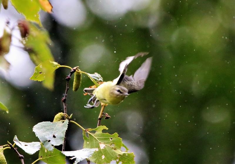 Viréo de Philadelphie sous la pluie Img_1215
