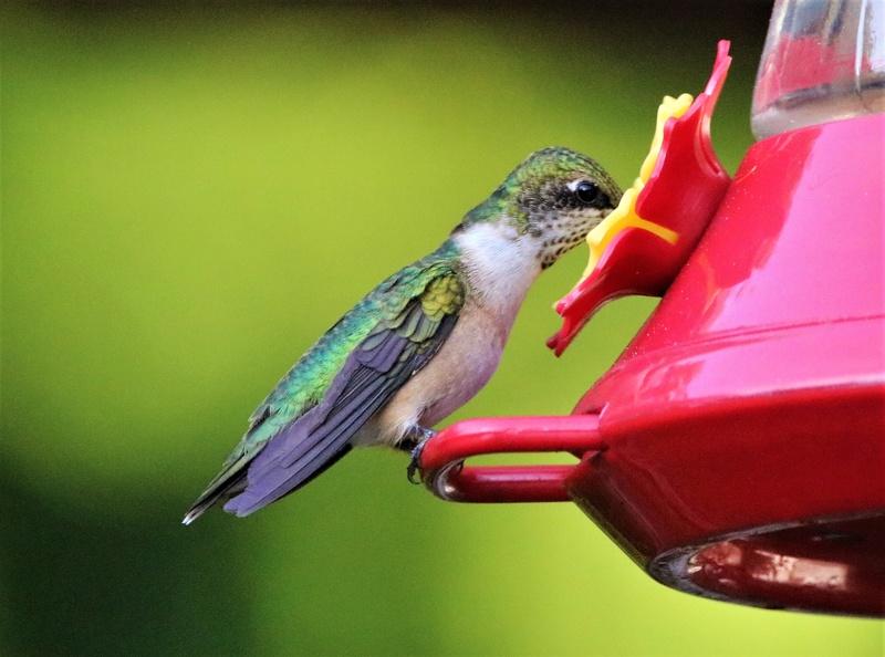 Colibri à gorge rubis Superb24