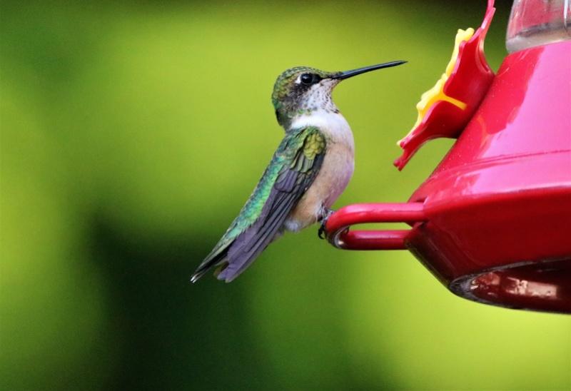 Colibri à gorge rubis Superb25