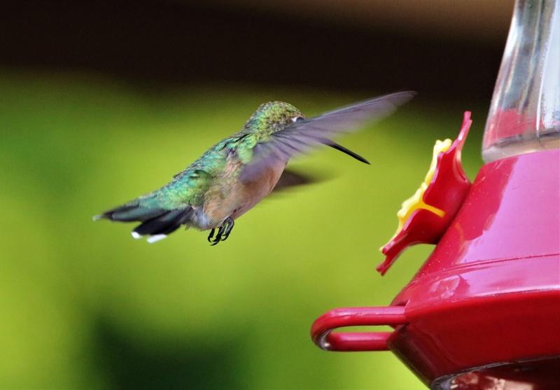 Colibri à gorge rubis Superb26