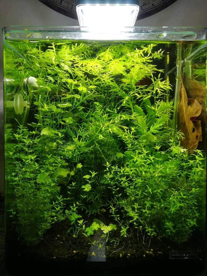 Algues pinceau nano aquarium Img_2010