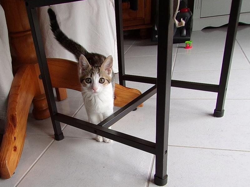 nenette - NENETTE, chatonne type européen, tigrée et blanche née le 15/04/17 100_0411
