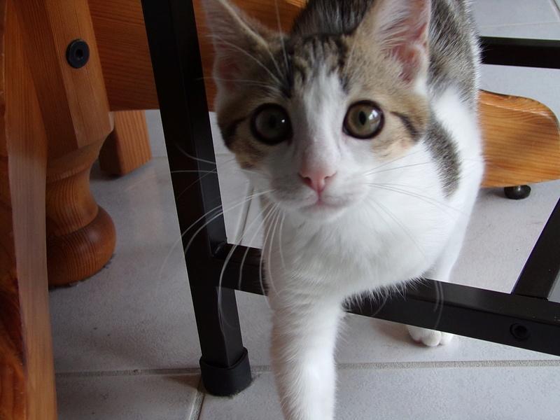 nenette - NENETTE, chatonne type européen, tigrée et blanche née le 15/04/17 100_0412