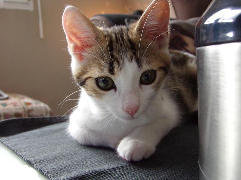 nenette - NENETTE, chatonne type européen, tigrée et blanche née le 15/04/17 100_0510