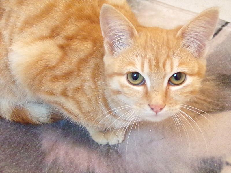 Nino , chaton roux Tabby et blanc, Né le 26/02/2017 100_1213