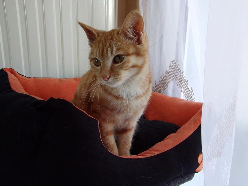Nino , chaton roux Tabby et blanc, Né le 26/02/2017 100_1215