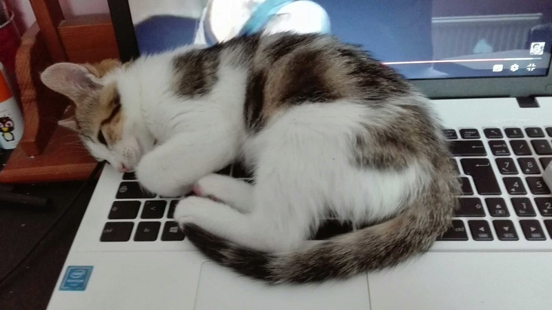 nenette - NENETTE, chatonne type européen, tigrée et blanche née le 15/04/17 Img_2012