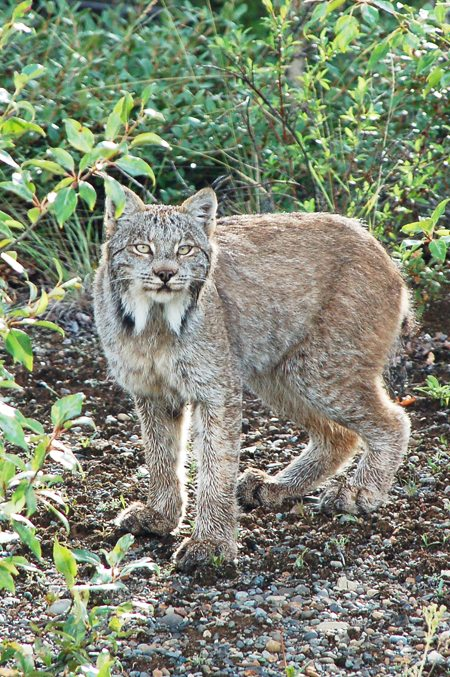 Les animaux totems Lynx-w10