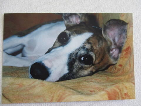 rencontre whippet)