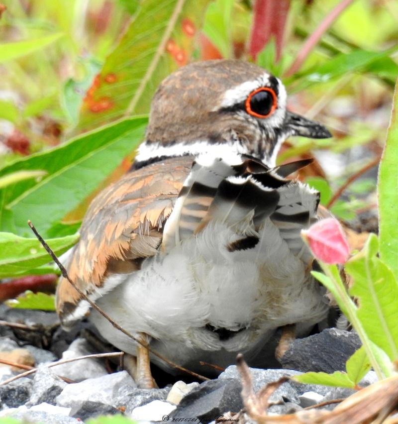 Pluvier kildir qui protège le nid  Dscn1710