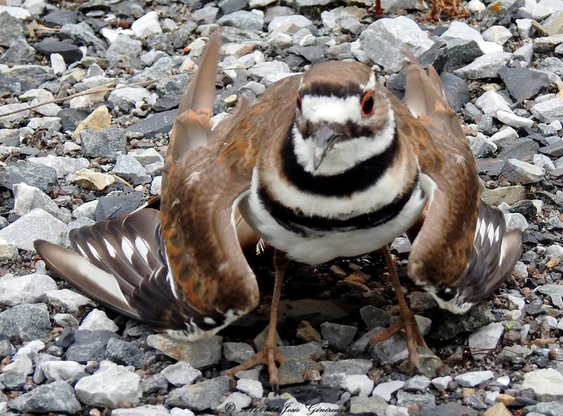 Pluvier kildir qui protège le nid  Dscn1810