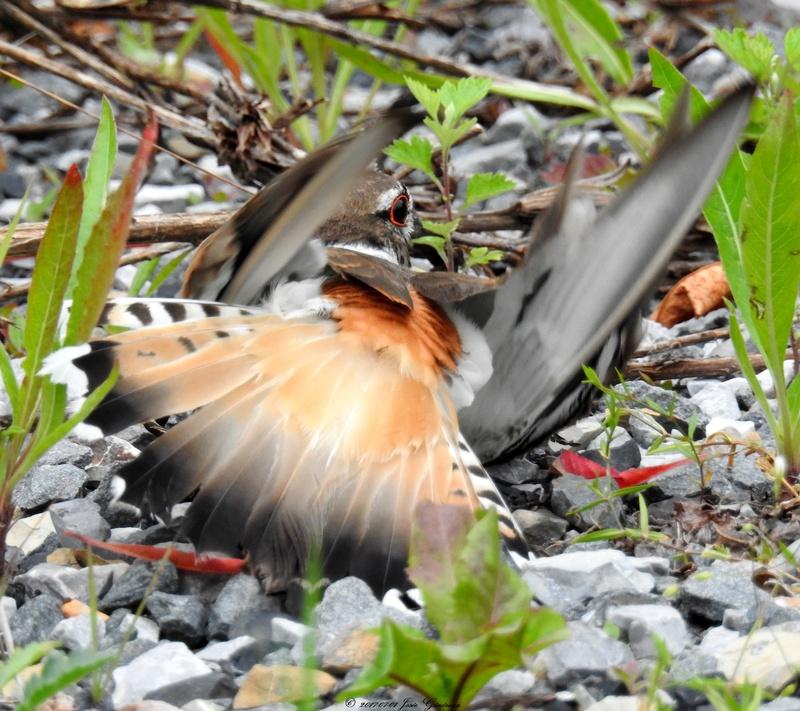 Pluvier kildir qui protège le nid  Dscn1812
