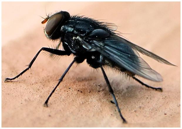 [Synthesiomyia nudiseta] un diptère... mais lequel ? Mouche10