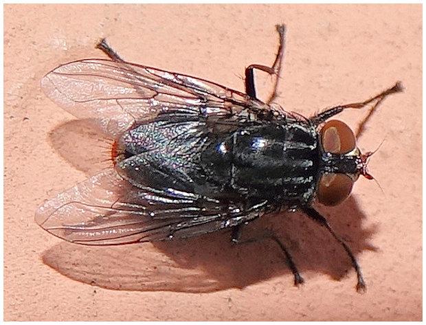 [Synthesiomyia nudiseta] un diptère... mais lequel ? Mouche11