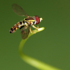 Ode to the Hover Fly Img_9110