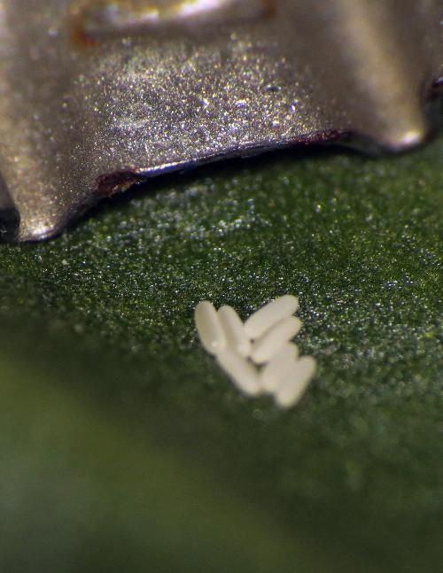 Damage on Swiss chard leaves. Img_9113