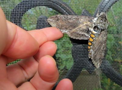 Caterpillars -Armyworm? Img_9611