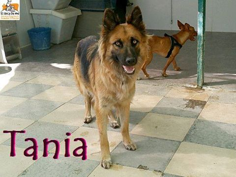 TANIA (devenue Laïka) - BERGER ALLEMAND - ES (Sole) 21272610