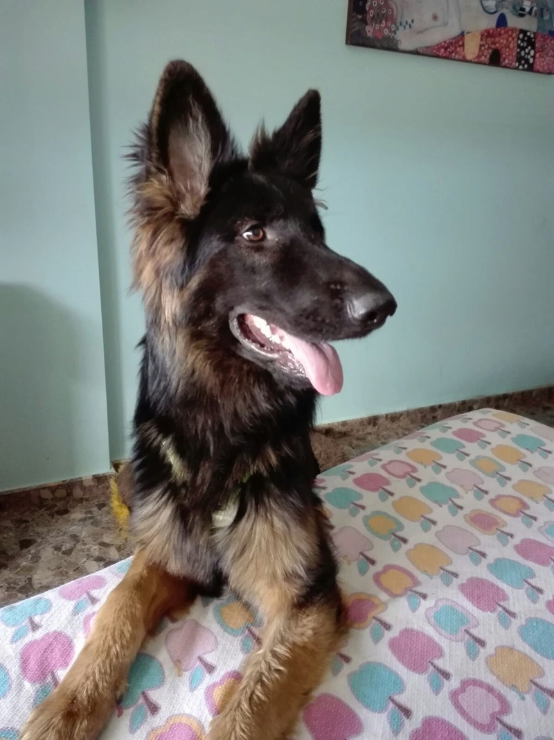 DINO - CROISE BERGER ALLEMAND - ES (Sole) Img-2547