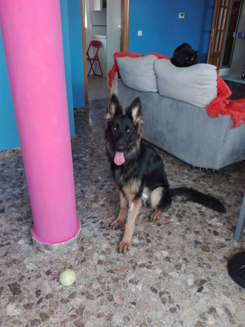 DINO - CROISE BERGER ALLEMAND - ES (Sole) Img-2549