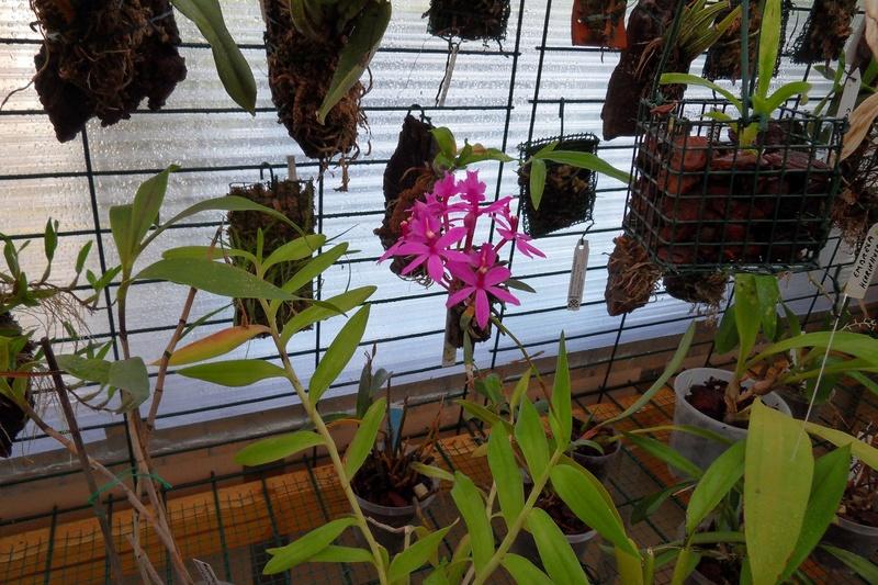 Epidendrum ibaguense 110