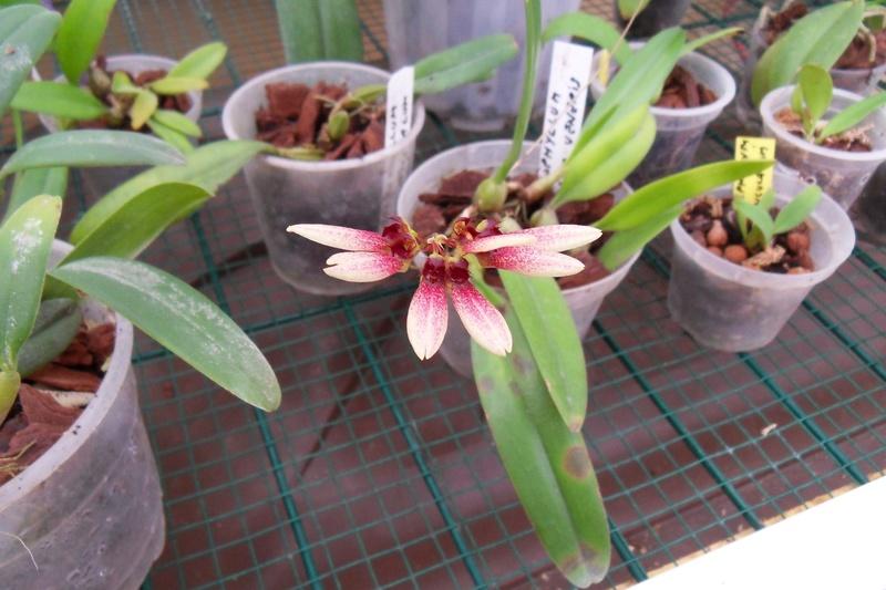 Encore Bulbophyllum flabellum-veneris 116