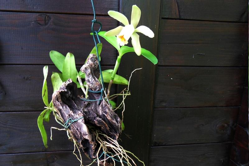 Cattleya forbesii 127