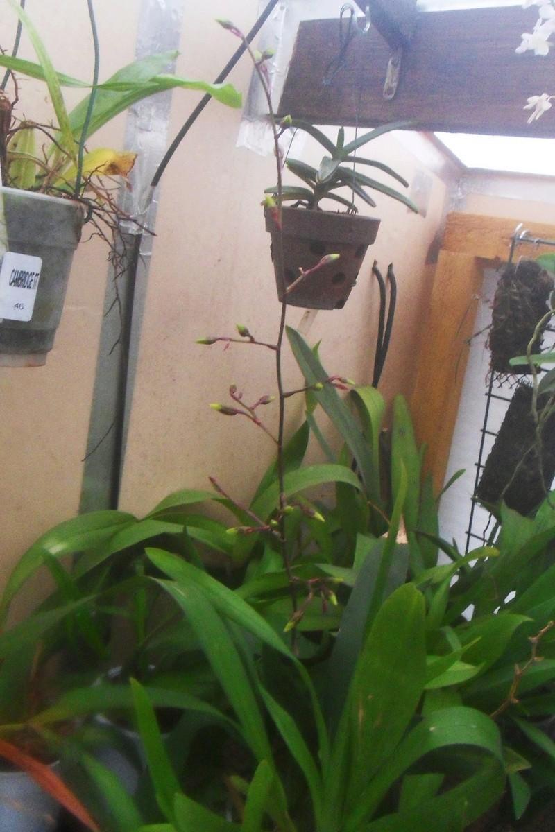 Cattleya forbesii 128